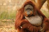 Portrait of an adult orangutan with a sad look on its face poster