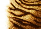 Tiger Skin over white poster