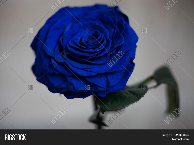 Blue everlasting rose flask close image photo bigstock blue everlasting rose in the flask close up izmirmasajfo
