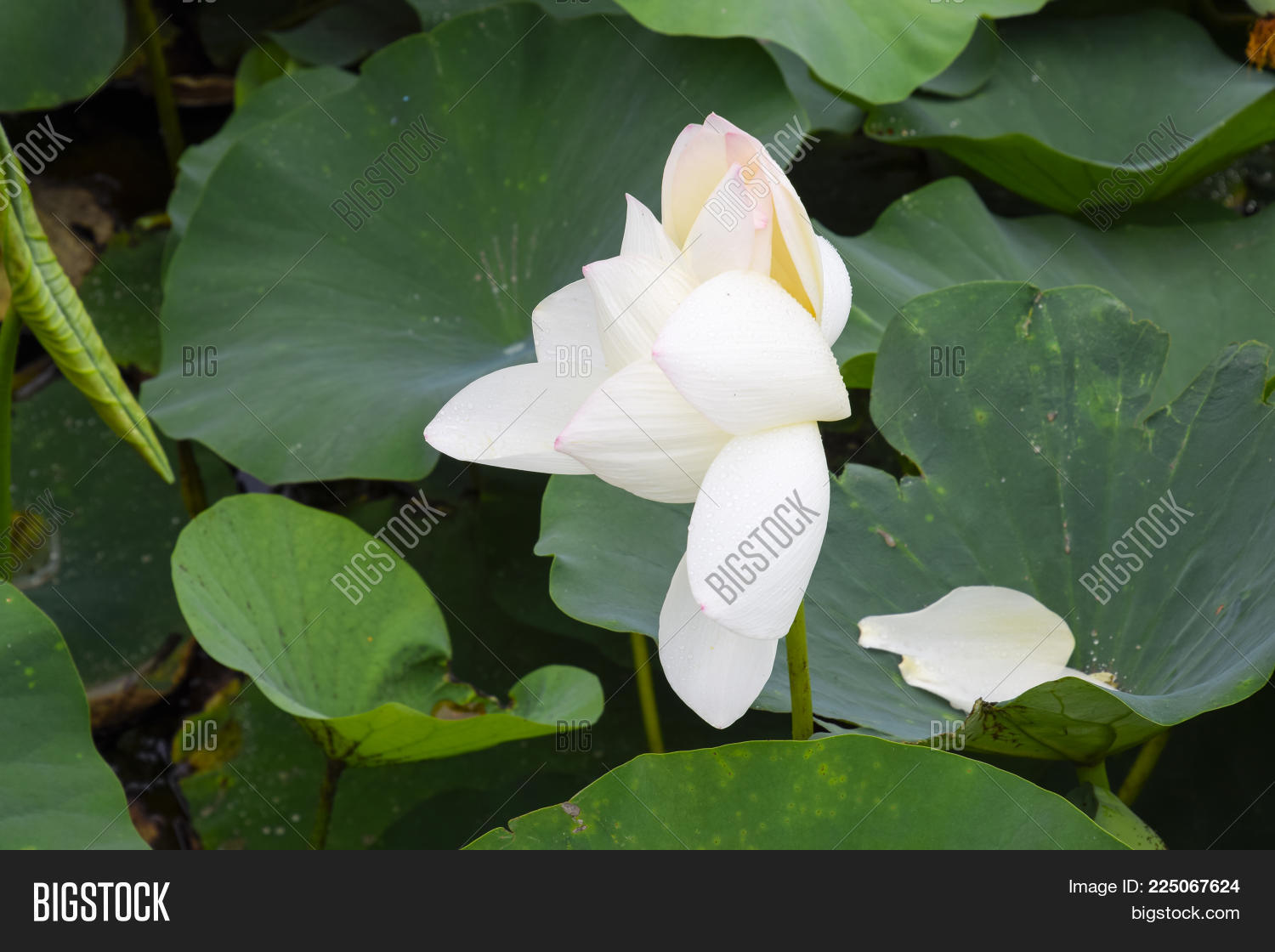 Lotus Flower Blooming Image Photo Free Trial Bigstock