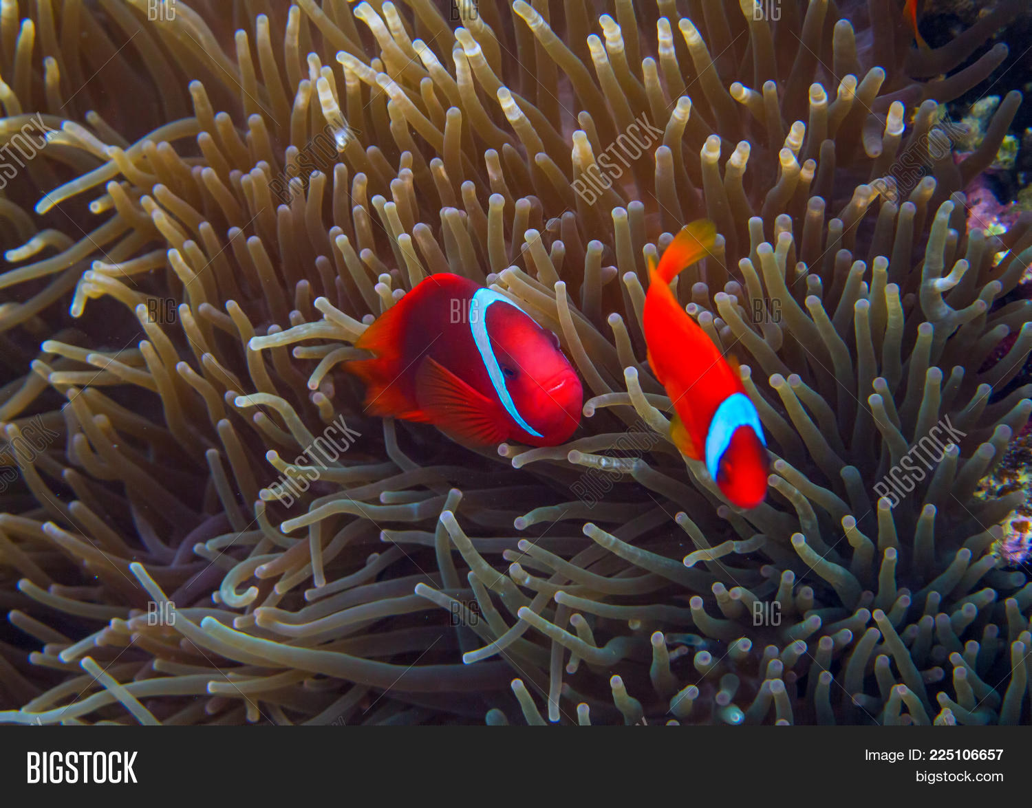 Clown Fish Actinia. Image & Photo (Free Trial) | Bigstock