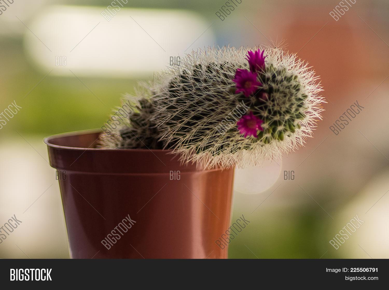 Home Cactus Pink Image Photo Free Trial Bigstock