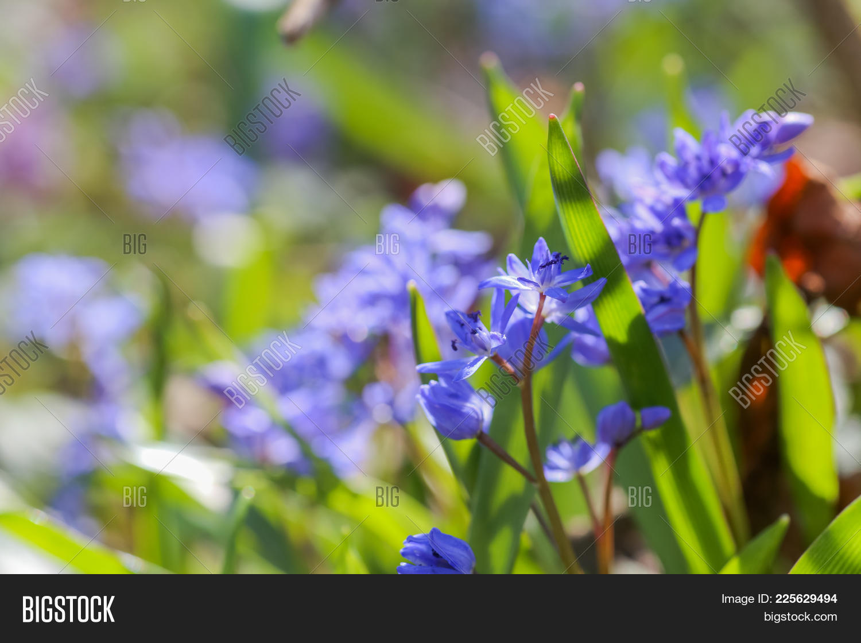Blue Flowers Scilla Image Photo Free Trial Bigstock