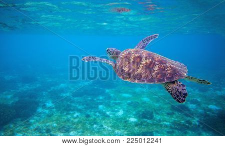 Sea tortoise in sea water. Marine green sea turtle closeup. Wildlife of tropical coral reef. Wild tortoise in water. Tropical sea shore animal. Marine turtle in blue water. Snorkeling underwater photo