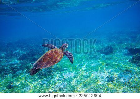Sea tortoise in sea water. Marine green sea turtle closeup. Wildlife of tropical coral reef. Wild tortoise undersea. Tropical sea shore animal. Seaturtle in blue water. Aquatic animal underwater photo