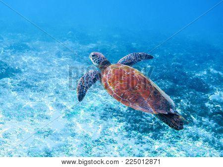 Sea turtle in sea water. Marine green sea turtle closeup. Wildlife of tropical coral reef. Wild tortoise undersea. Tropical seashore animal. Big turtle in blue water. Aquatic animal underwater photo