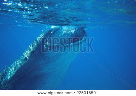 Whale shark feeding underwater photo. Whale shark head closeup by sea surface. Huge oceanic animal. Biggest shark in natural environment. Snorkeling or diving with whale shark in Philippines