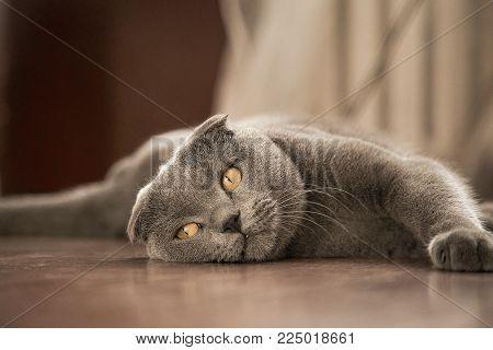 Cat of British breed lying on the floor