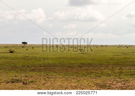 Field With Zebras And Blue Wildebeest