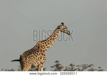 giraffe walking on the grasslands of the Maasai Mara, Kenya