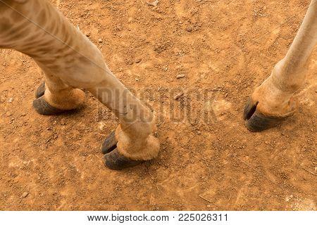 feet and hooves of a Rothschild giraffe in Nairobi, Kenya