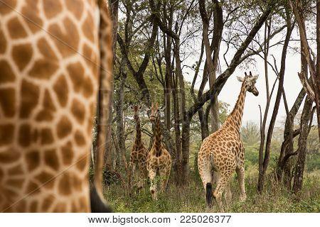 Rothschild giraffes walking in a reserve in Nairobi, Kenya