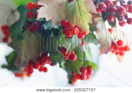 Beauty guelder-rose fruits with leaves on branches in the fall