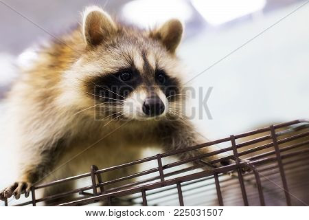 raccoon close up, sitting on the cage