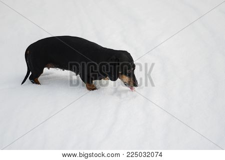 Female of dachshund dog eating snow while playing outdoor at winter season
