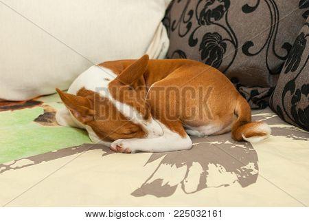 Little Basenji puppy sweet sleeping on a sofa in favorite pose.