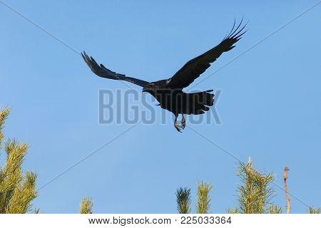 a big black raven flies over trees on blue sky background