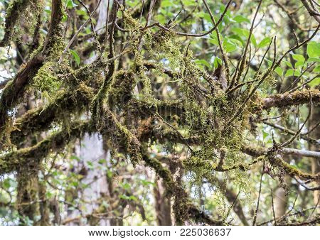 Complex lichen (Usnea exasperata) is growth on the branch in the national park.