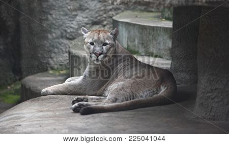 Animals - Mountain lion puma cougar have a rest.