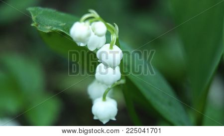 Close up of Lily of the valley. Blooming Lily of the valley in spring garden.