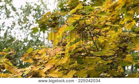 Autumn maple leaves on a tree.Maple leaves against the sky.4K video, 4K.Autumn season Beautiful golden autumn.
