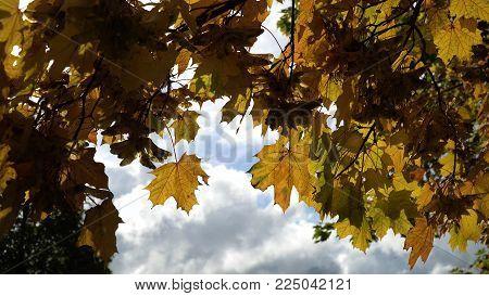 Autumn maple leaves on a tree.Maple leaves against the sky. Autumn season Beautiful golden autumn.
