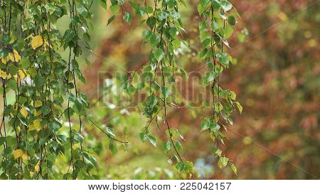 Rain drops on the branches of a birch on a rainy autumn day.Birch tree, rainy autumn.September Autumn rainy day in the woods.