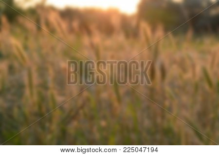 Agricultural background with ripe spikelets of rye in the golden rays of the low sun backlight. Beautiful nature sunset. Rural scene. blurred background