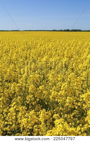 Rapeseed (brassica Napus), Also Known As Rape, Oilseed Rape. Field Of Yellow Blooming Rapeseed. Lith