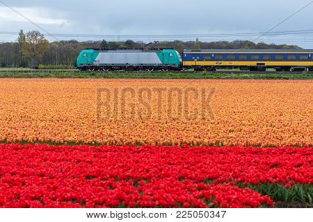 Zuid Holland, the Netherlands - 23 April 2017: Dutch electric train passing flower fields