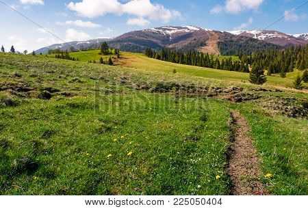 grassy fields on rolling hills. spruce forest on slopes at the foot of the mountain ridge in springtime