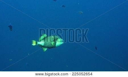 Giant Triggerfish on a coral reef. Dive, underwater world, corals and tropical fish. Bali, Indonesia. Diving and snorkeling in the tropical sea. Wonderful and beautiful underwater world with corals and tropical fish.