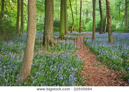 Trail Through Bluebell Woods