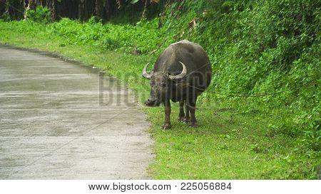 Bull grazing near a rural road and eats green grass. Asian bull eats the grass during a tropical rain.
