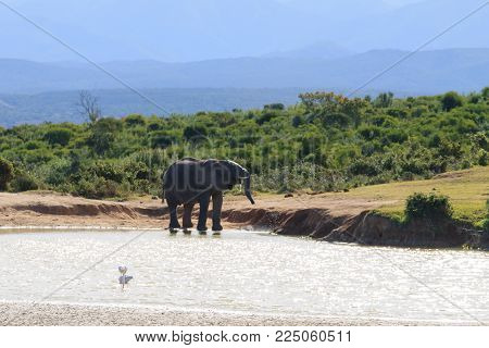 Elephant Drinking Water From Waterhole At Addo Elephant National Park, South Africa. African Wildlif