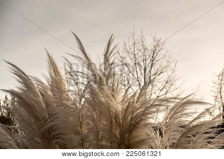 White grass that looks like white feathers