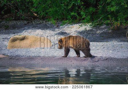 Kamchatka Brown Bear Female And Bear Cubs Catch Fish On The Kuril Lake. Kamchatka Peninsula, Russia.