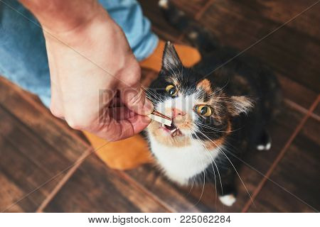 Domestic life with pet. Young man gives his cat meat snack.