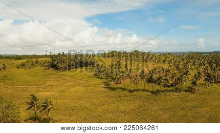 Rice field with yellowish green grass, blue sky, cloud. Tropical landscape with palm trees and hills. Aerial view: rice plantation and hill. Philippines, Siargao.