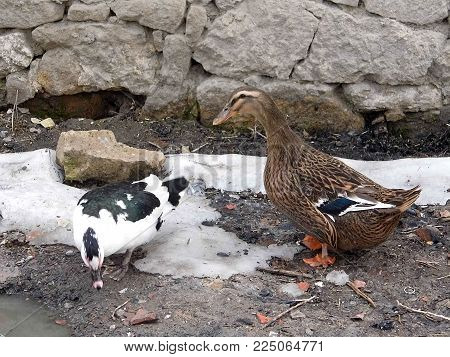 In the village, natural ducks and ducks travel together, white and black duck species living in natural environment,