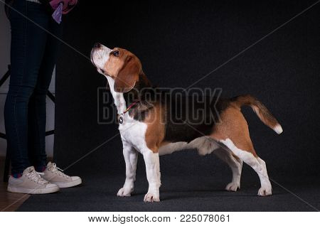 Beagle in studio full body portrait on dark grey background posing for photographer with owner