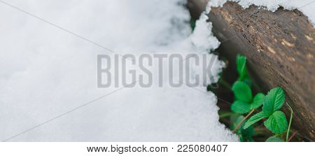 Log covered with melting snow and first wild strawberry green leaves. Nature awakening, thaw and spring coming concept.