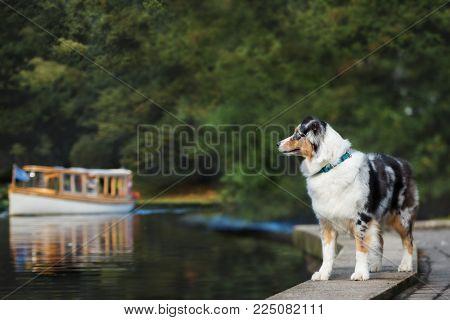 australian shepherd dog posing outdoors in summer