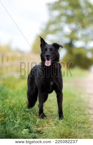 Black Mixed Breed Dog Posing Outdoors In Summer