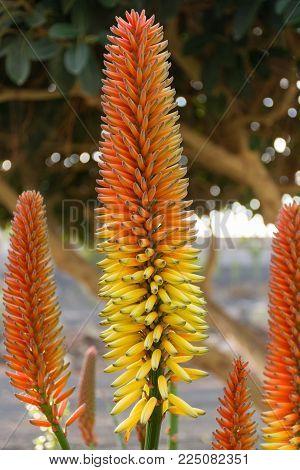 Flowers Of Aloe Vera, Cultivation Of Aloe Vera, Healthy Plant Used For Medicine, Cosmetics, Skin Car