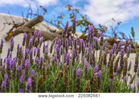 Lilac Lavender Aromatic Flowers, Cultivation Of Lavender Plant Used As Health Care, Skin Care, Cosme