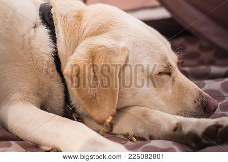 Pure bred Labrador retriever asleep on the rug