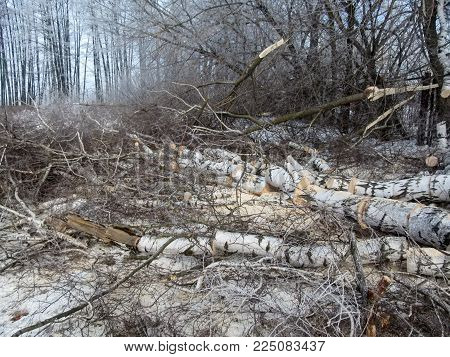 Sawing firewood - a large birch cut into pieces lies on the ground in a winter forest. Clear frosty day, in the clearing among the snow lies a pile of firewood, sawdust, branches covered with hoarfrost