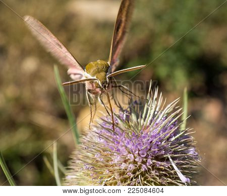 frontal macro hawk Moth feeding on nectar from a flower macro detail extracting nectar from a thistle in springtime bugs, insect