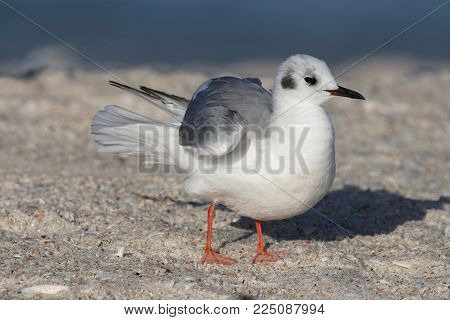 A Bonaparte's Gull in winter plumage on a beach in Florida